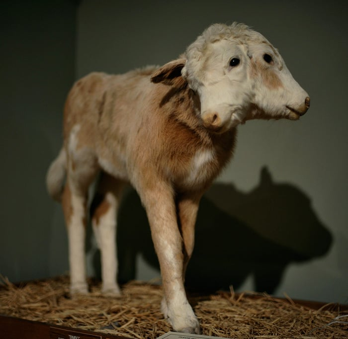A two-headed sheep is a prime example of a strange Victorian taxidermy tradition