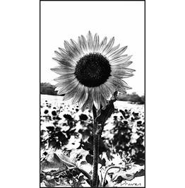 Sun Flower Art 20x24 Canvas Print