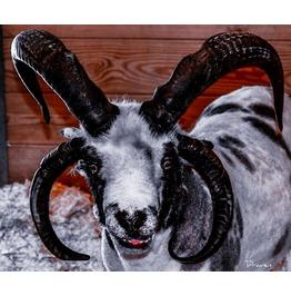 Goat Art 12x18, Glossy Poster